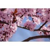 Cseresznyevirág laptop matrica