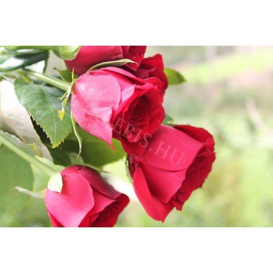 Vörös rózsa laptop matrica